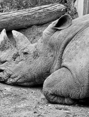crimine-selvaggio-rhino
