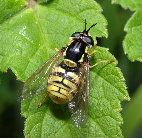 chrysotoxum-cautum-by-steven-falck