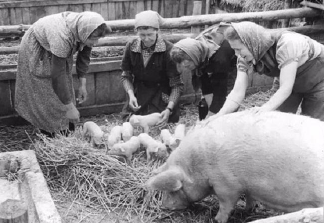 il maiale nella vita contadina